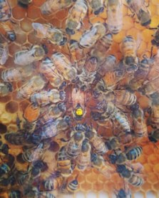 honey-bees-w-marked-queen-in-hive